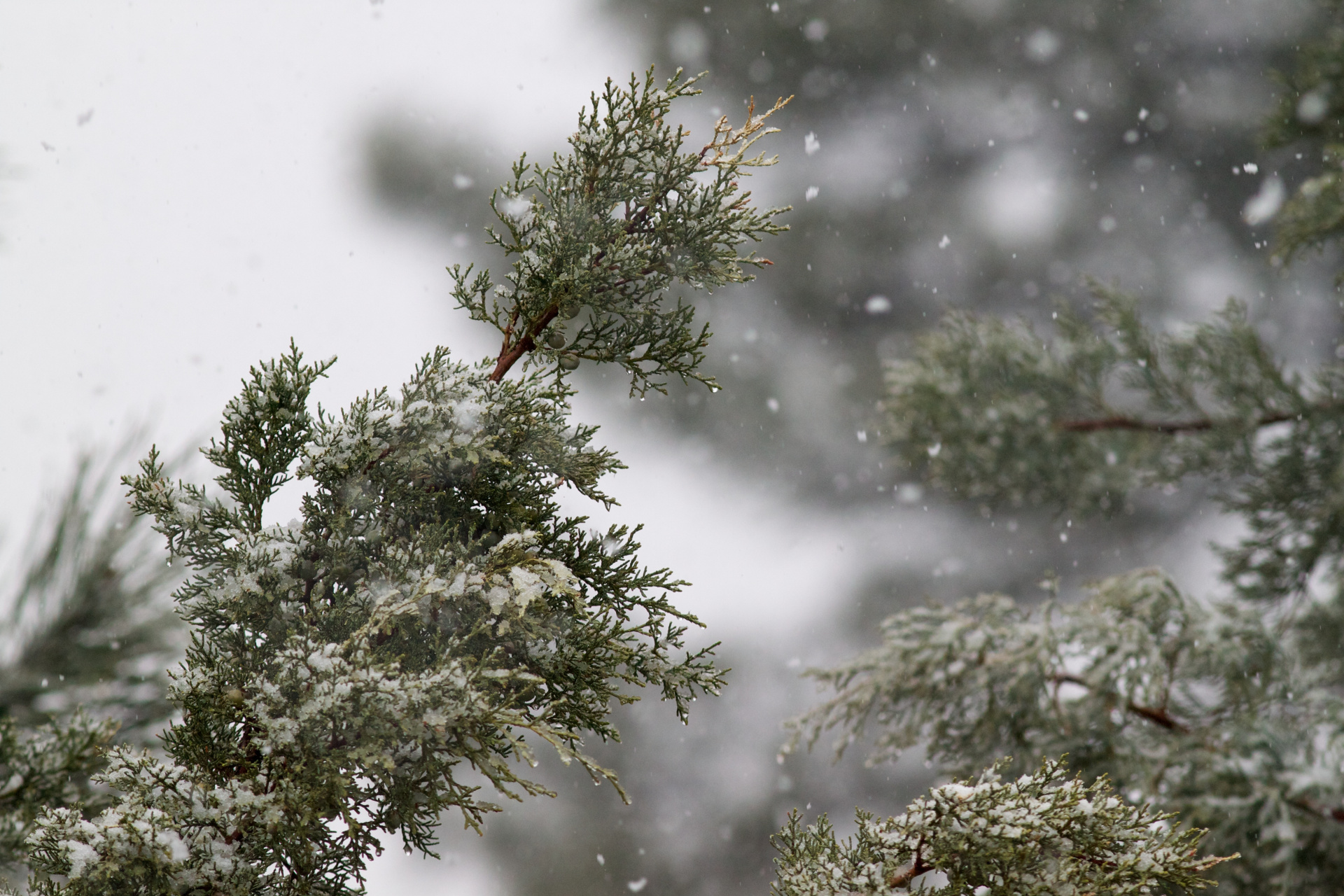 snow on junipers